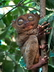 Le tarsier des Philippines - Crédits : iStockphoto/Robin O'Connell